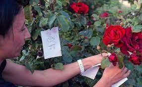 Iemand bevestigt wensen aan een rozenstruik.